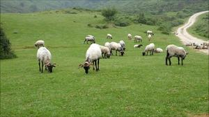 Suarias sheep