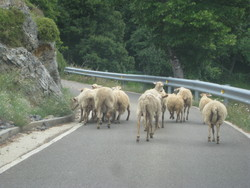Sheep in the Río Sella gorge